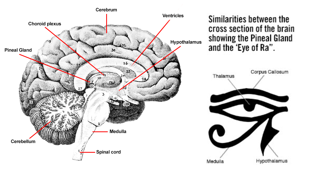 Pineal Gland - A Thorough Explanation