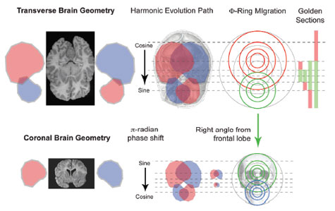 Geometry of the human brain and skull