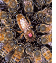 Hyper-communications of Bees